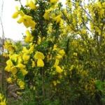 Scotch_broom_flowering