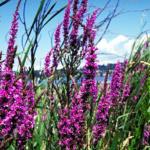 purple_loosestrife_flowers