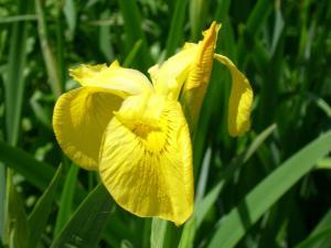 Yellow_flag_iris_(SSM)_3