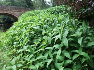 himalayan-knotweed-persicaria-wallichii-growing-on-banks-of-river-esk