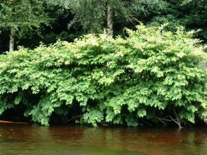 japanese-knotweed-on-river-bank